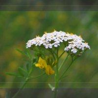 Дикий цветок :: Зося Lermark