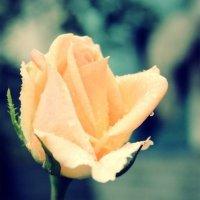 Роза :: Надя Тарасенко