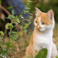 Дворовый кот :: Sergey Serov