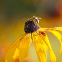 Пчела :: Ольга Соболева