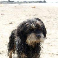 Пляжный пес :: Ирина Соловьева