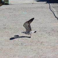 чайка :: Наташа Пасакас