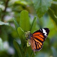 Бабочки в парках Гонконга :: Анатолий Иргл