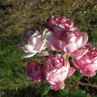Розы ноября :: Наталья Джикидзе (Берёзина)