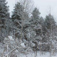 Зима в лесу :: Сергей Кочнев