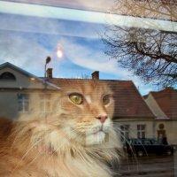 Bella w oknie kociej kawiarni Gdańsk Oliwa :: Janusz Wrzesień