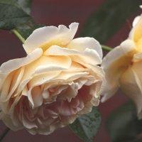 розы :: Lena Zalesska