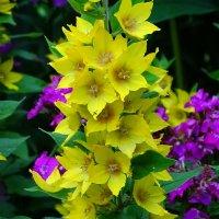 Лесные  цветы (вербейник) :: Милешкин Владимир Алексеевич