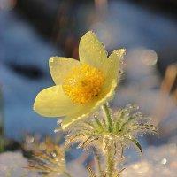Запах весны :: Александр Велигура