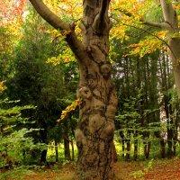 Бук лесной :: Сергей Карачин
