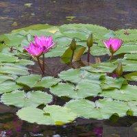 Цветы парков Гонконга :: Анатолий Иргл