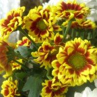 Солнечные хризантемы :: Елена Семигина