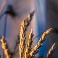 Пшеница на подоконнике :: Julia Martinkova