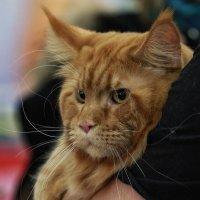 Международная выставка кошек «CAT-Expo 2017». :: Владимир Шадрин