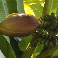 Цветок от бананов :: Наталья Маркелова