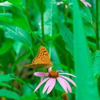 Бабочка :: Дмитрий Звонарев