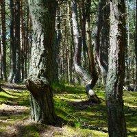 Танцующий лес :: Ольга Чистякова