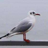 Чайка - гордая птица :: Маргарита Батырева