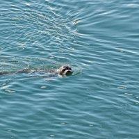 Морской Котик :: Alexander Dementev
