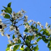 Вишня цветёт, чаровница земная. :: Валентина ツ ღ✿ღ