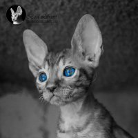 AVAILABLE.Little cat-fox. Kennel Bird Liberty. Фотограф Гуща Екатерина :: Екатерина Гуща