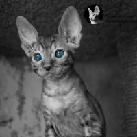 AVAILABLE.Little cat-fox. Kennel Bird Liberty. Фотограф Гуща Екатерина :: Екатерина Гуща