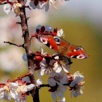 на весенних цветах 2 :: Александр Прокудин