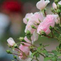 Розы :: Александр Титков