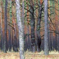 Лес с танцующими соснами. :: Валентина ツ ღ✿ღ