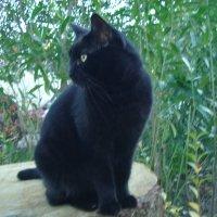черная кошка :: Антонина Владимировна Завальнюк