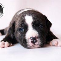 Puppies of Staffordshire Bull Terrier.Krasa Kuznetska. Фотограф Гуща Екатерина :: Екатерина Гуща