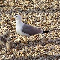 Серебристая чайка с птенцами :: Swetlana V