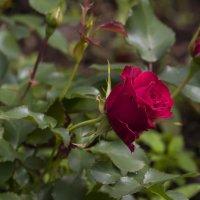 Роза :: leo yagonen