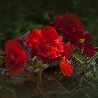 Красный гламур :: Владимир