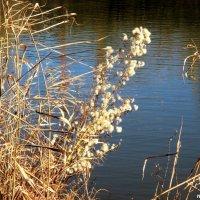 Метёлки на берегу реки :: Нина Бутко