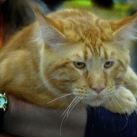 На выставке кошек. :: Александр Бабаев