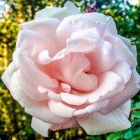 Розовая роза. :: Александр Куканов (Лотошинский)