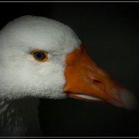 Портрет гуся :: Swetlana V