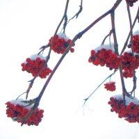 Ягоды в снегу :: Людмила Монахова