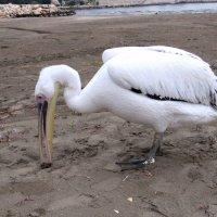 Пеликан, гуляющий по берегу моря. :: Вадим Синюхин