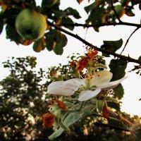 Второе цветение :: Сергей Чернышев