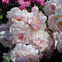 Розовое облако. :: Венера Чуйкова