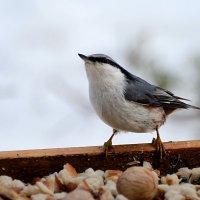 поползень :: linnud