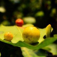 Галловые орешки на листе дуба :: Сергей Шаталов