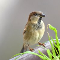 Sparrow :: Олег Шендерюк