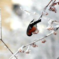 Пир снегиря :: Антон Сергиенко