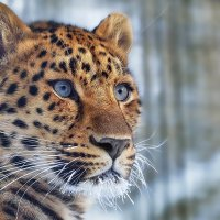 Леопард. :: Виктор Шпаков
