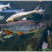 Рыбы... :: Игорь Волков