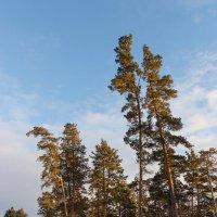 Сосны и другие деревья :: Олег Манаенков