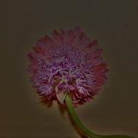 Соцветие суворовского лука :: Алена Малыгина